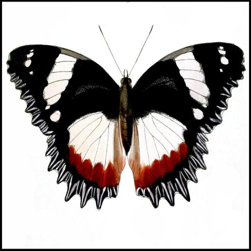 butterfly-species-trivia-quiz