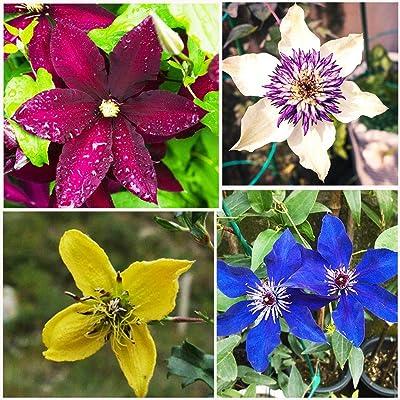 100pcs Clematis Seed ~Mixed Colors~ Wonderful Large Blooms Vine Seeds Perennial Flower Seeds Climbing Plants Bonsai Pot Garden Plant : Garden & Outdoor