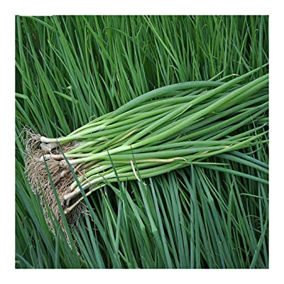 Chive Chives 2500 Seeds Chinese Vegetable Seeds Garden Original Color Package 原装彩包四季小葱种子 : Garden & Outdoor