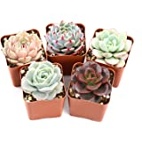 "Succulent Plants, 5 Pack of Assorted Rosettes, Fully Rooted in 2"" Planter Pots with Soil, Valentine's Day Gift Rare…"