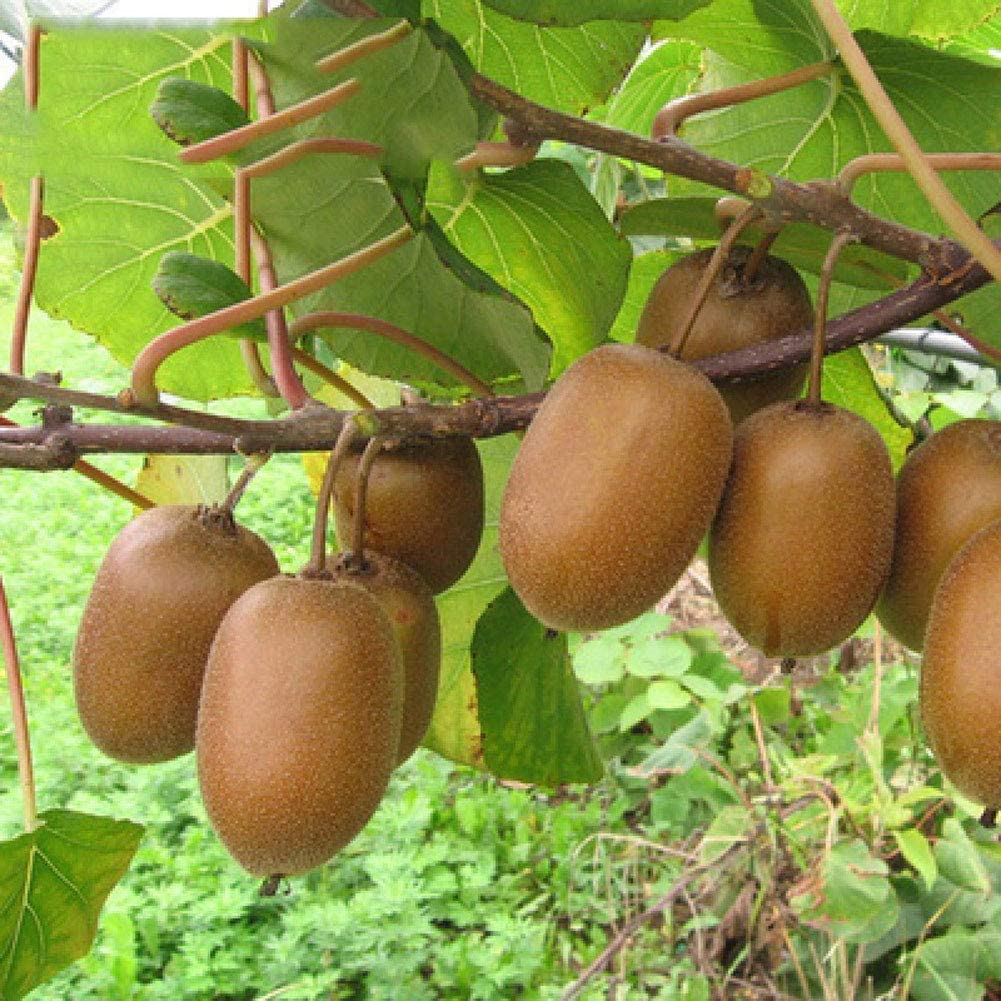 Graines de fruits de kiwi 20 pi/èces Actinidia Chinensis Bio Fresh Premium facile /à cultiver des graines de plantes pour la plantation de jardin Yard Home