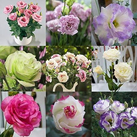 Portal Cool 10 Eustoma Grandiflorum Seeds Bulk Home Garden Yard Balcony Plant Flower Lisianthus Amazon Co Uk Kitchen Home
