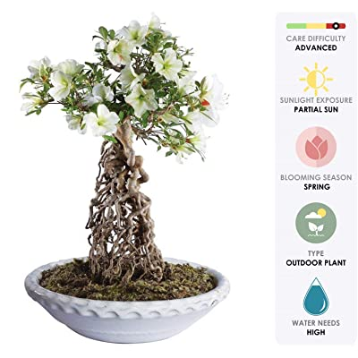 "Brussel's Live Azalea Specimen Outdoor Bonsai Tree - 25 Years Old; 15"" Tall with Decorative Container: Garden & Outdoor"