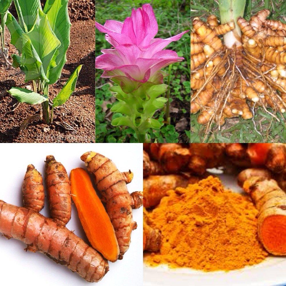 Turmeric Root - Whole Raw Organic Root - 10 Lb. Lots - Top Grade