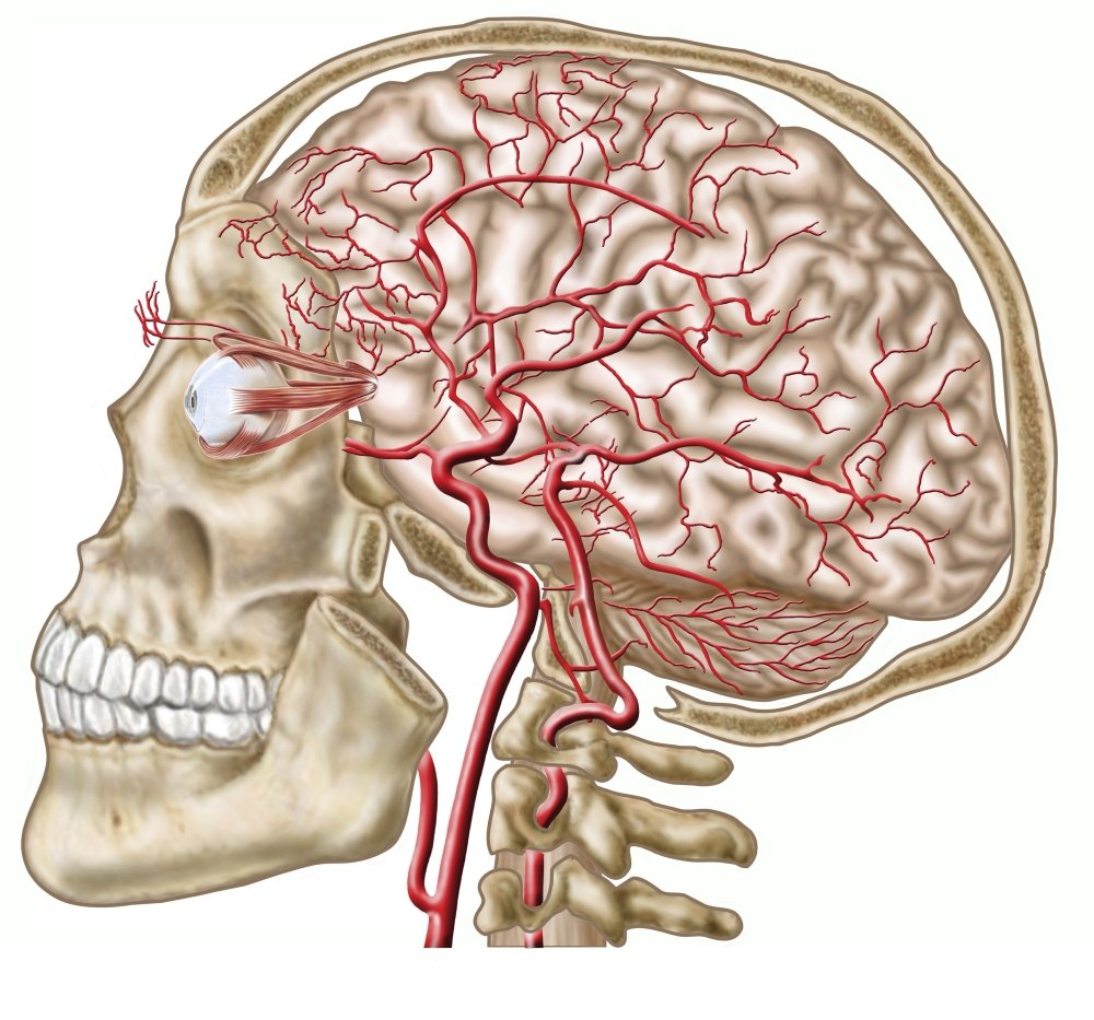 Amazon Anatomy Of Human Skull Eyeball And Arteries To Brain