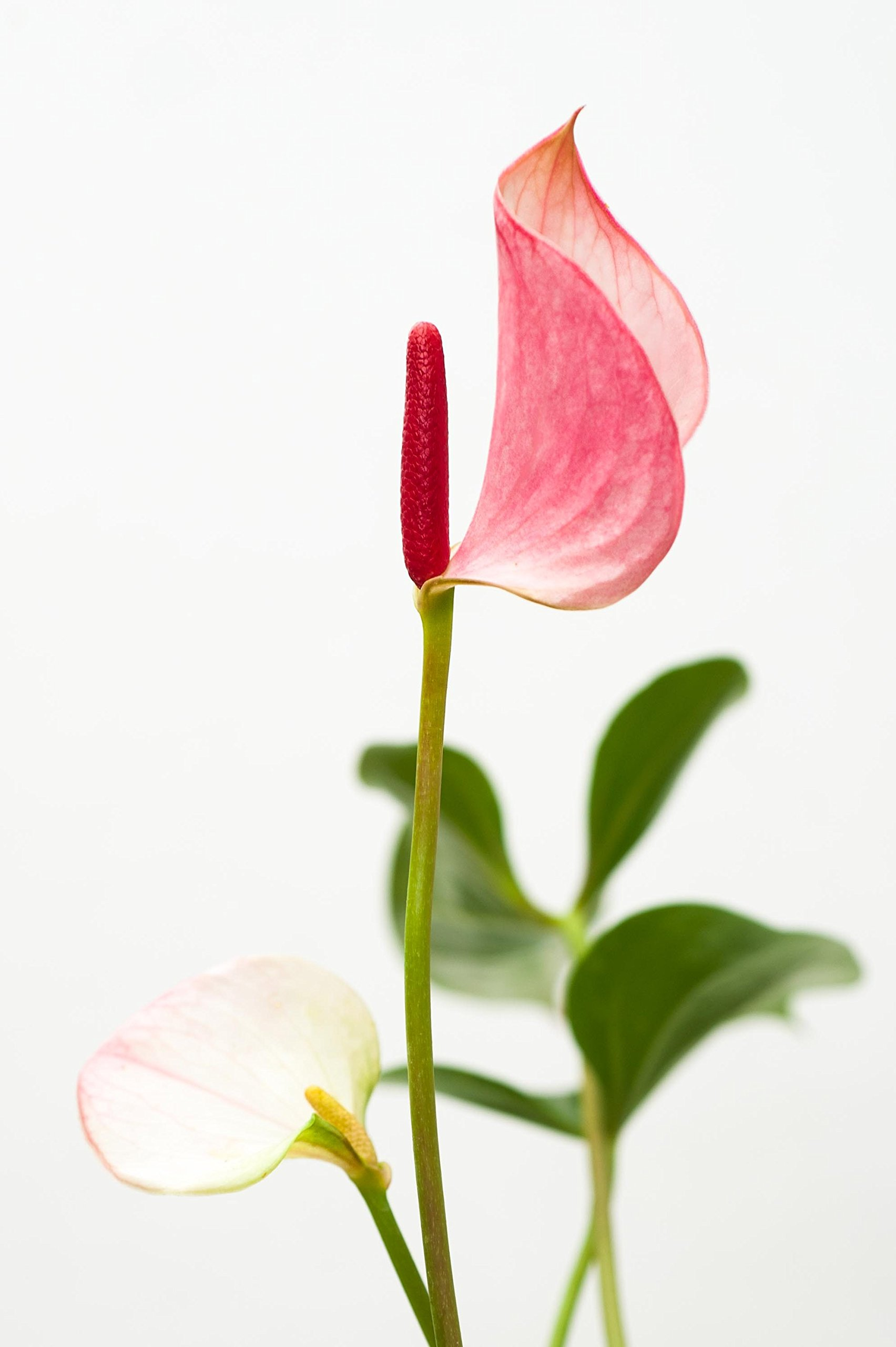 Anthurium Pink - Live House Plant - Easy to Grow - Florist Quality - Cleans the Air by Florida Foliage (Image #4)