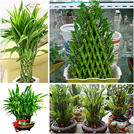 Amazon Com 40 Chinese Lucky Bamboo Seeds Bring Luck And Wealth