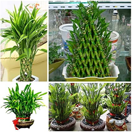 Amazon com : 40 Chinese Lucky Bamboo Seeds Bring Luck and