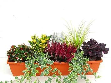 Immergrunes Winterharte Balkonpflanzen Im Set Fur Balkonkasten 80