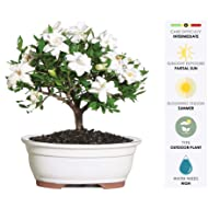 8f9710d632259 Brussel s Live Gardenia Outdoor Bonsai Tree - 4 Years Old  6