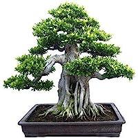 Banyan Seeds, 50Pcs / Bag Banyan Seeds Frescas fáciles de plantar Troncos gordos Semillas de árboles bonsai de interior…