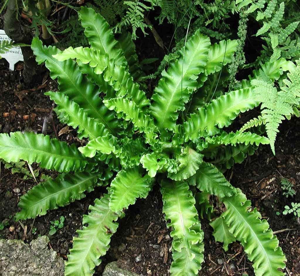 Phyllitis scolopendrium Undulatum -Hart's Tounge in 9cm Pot, IR Trading Ltd
