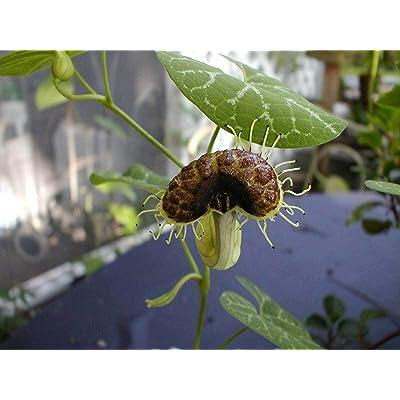 Aristolochia fimbriata   White Veined Dutchmans Pipe   10_Seeds : Garden & Outdoor