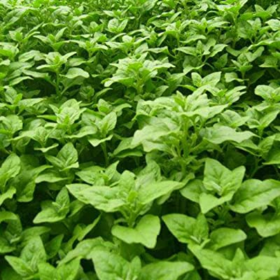 Nabsna New Zealand Spinach Seeds Tetragonia Tetragonioides Vegetables Garden Plants Vegetables : Garden & Outdoor