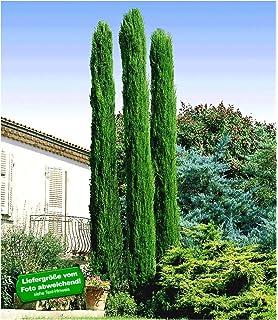 BALDUR Garten Echte Toskana Saulen Zypressen 1 Pflanze Cupressus Sempervirens