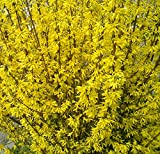 Lynwood Gold Forsythia - Yellow - Healthy Established Roots - Gallon Potted - 1 Plant