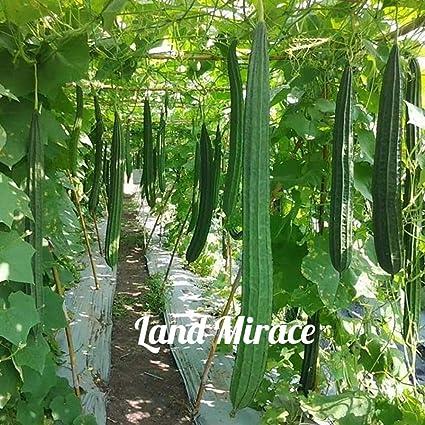Esponja China Para Verduras De Semillas Vegetales Luffa En ángulo Esponjas De Loofa 10 Semillas Frescas De Okra China Jardín Y Exteriores