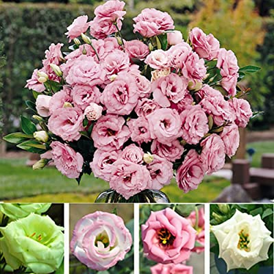 junshi11 50Pcs Mixed Color Lisianthus Eustoma Flower Seeds Home Bonsai Easily Grow, Annual Temperate Planting, Indoor Outdoor Decoration Garden Gifts Eustoma Grandiflorum Seeds : Garden & Outdoor