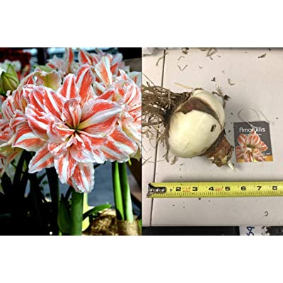 HOT - 1 Jumbo Bulb Amaryllis Dancing Queen, Flamboyant Orange Red and White Striped, Large Flower, Hippeastrum Bulbs, Size 36 : Garden & Outdoor