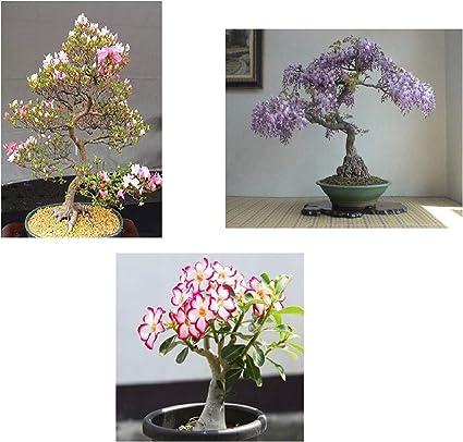 Amazon Com Flowering Bonsai Tree Bundle 2 All Flowering Tree Seeds Vibrant Colors Desert Rose Japanese Cherry Blossom Chinese Wisteria Garden Outdoor