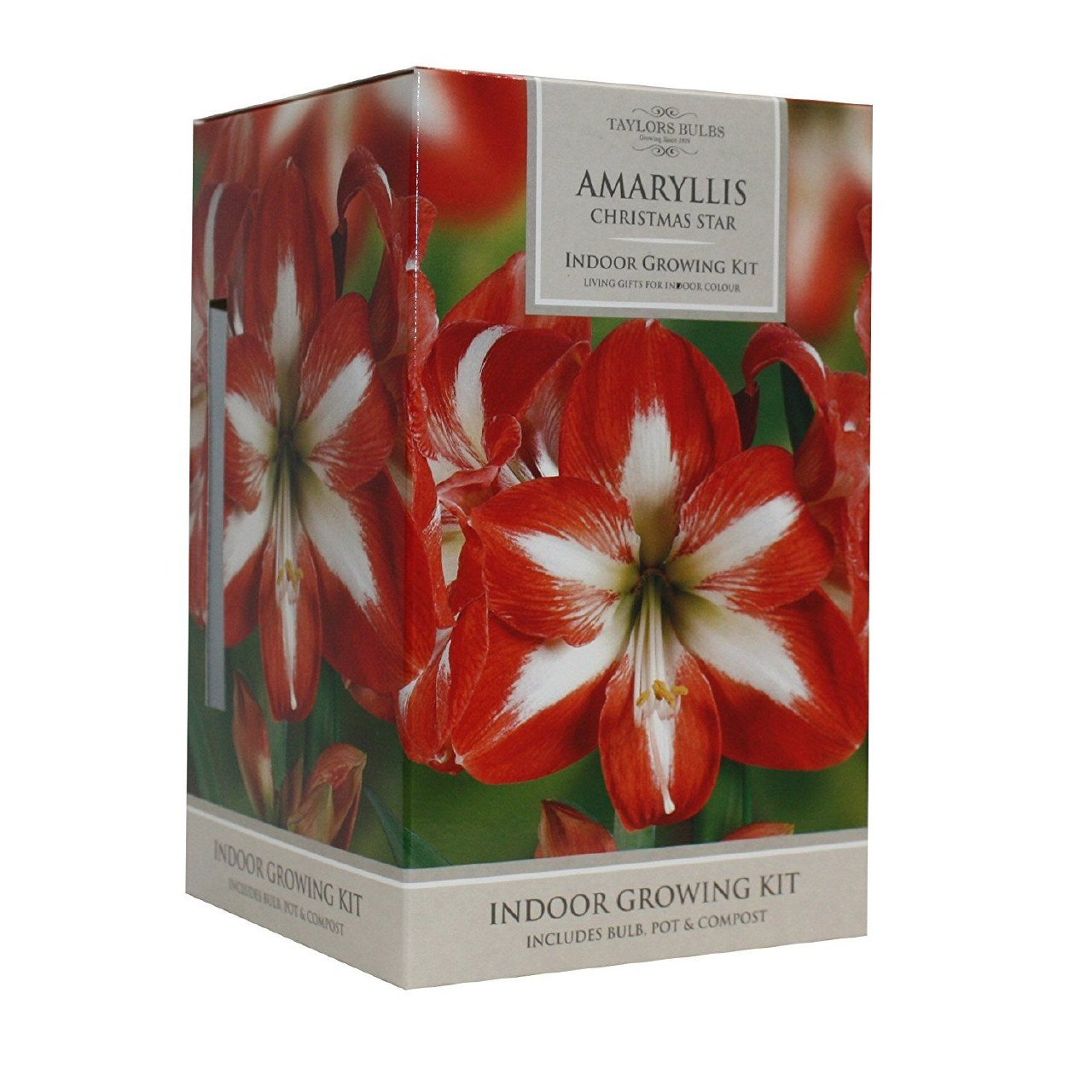 Amaryllis Christmas Star Taylors Bulbs