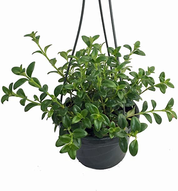 4 Hanging Basket Blooms Constantly FREE SHIPPING Two Goldfish Plant