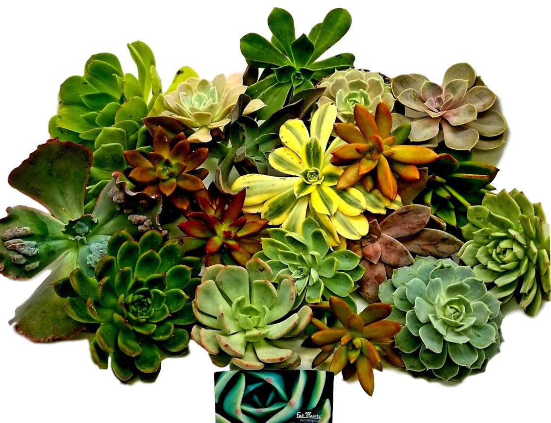 Fat Plants San Diego Twenty Gorgeous Large Rosette Succulents