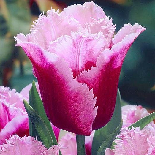 Lonlier Semillas de Tulipanes 100 pcs Semillas Flores Ecologicas para Jardín Huerto: Amazon.es: Jardín