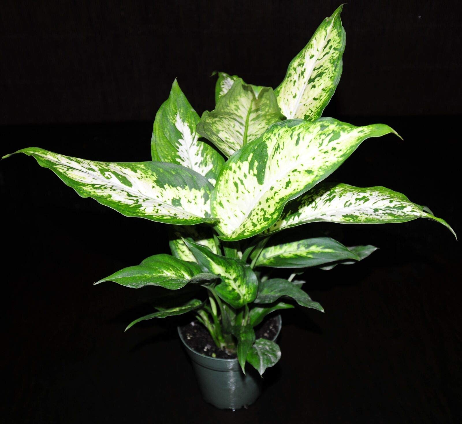 Dieffenbachia Compacta Live Tropical Houseplant Shipped in 4''Pot~Large & Healthy (Premium Quality) by AY-Premium