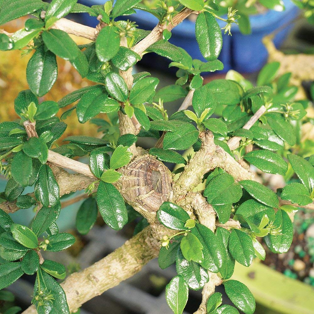 Brussel's Bonsai Live Fukien Tea Indoor Bonsai Tree-10 Years Old 10'' to 14'' Tall with with Decorative Container, by Brussel's Bonsai (Image #3)