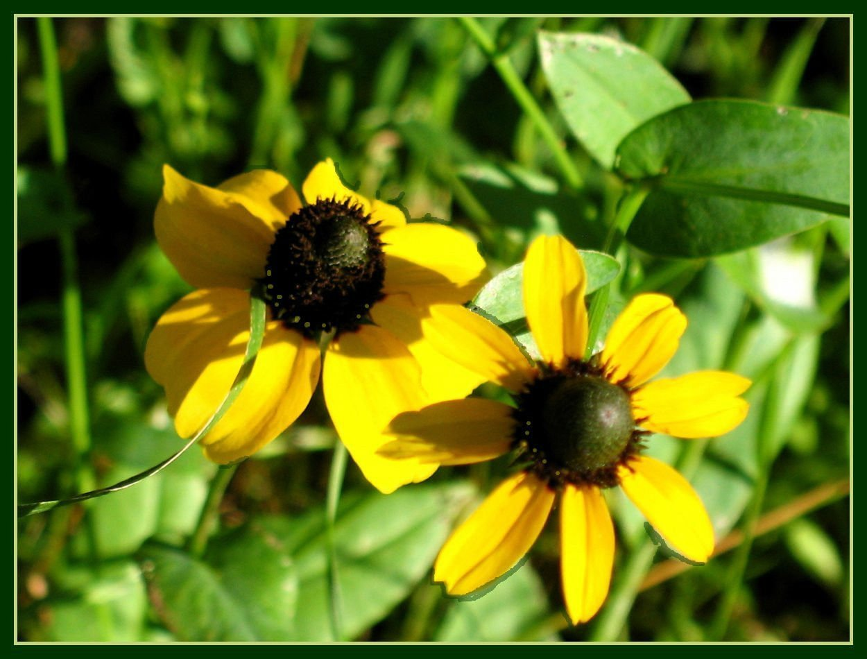 Amazon Coneflower Clasping Leaf Yellow Flower 2200 Seeds