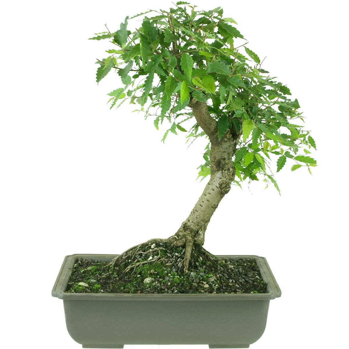 Japanische Zelkova, Prebonsai, 10 Jahre, 38cm