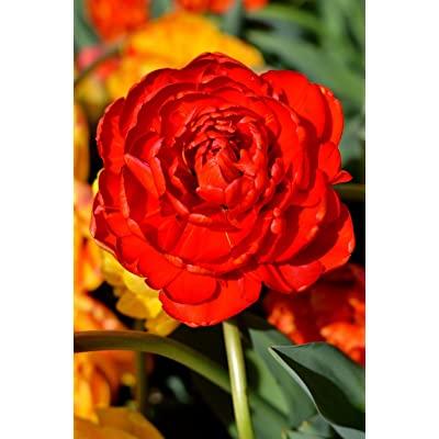 10 Bulbs - Tulip Red Pomponette - fall Planting Bulbs - Double Late Tulip: Garden & Outdoor