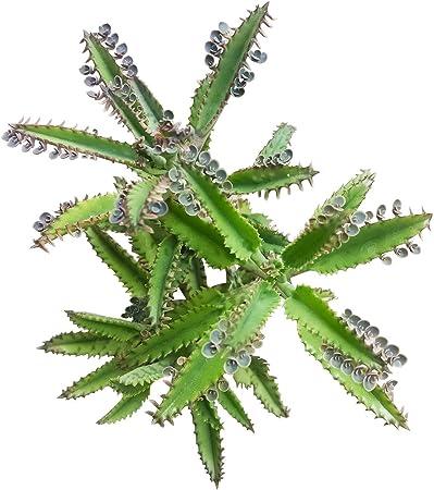 Kalanchoe Daigremontiana Plant Potted 8/' 5 CMS Succulents Succulents No Hybrid