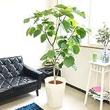 フィカス ウンベラータ ゴムの木 10号 大鉢 観葉植物 大型 インテリア 10号鉢 尺鉢