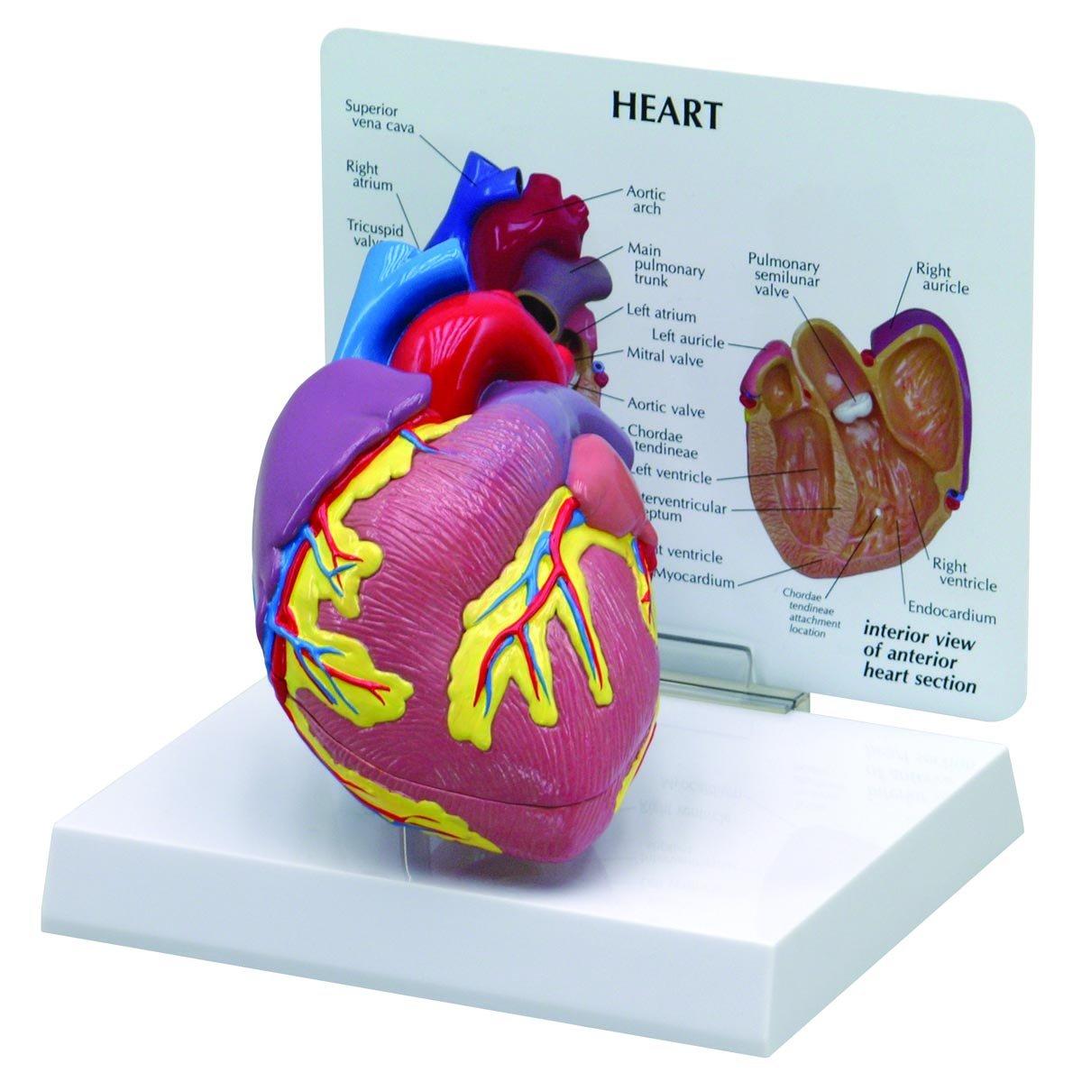 Amazon 2 Piece Cutaway Heart Anatomyanatomical Model 2500