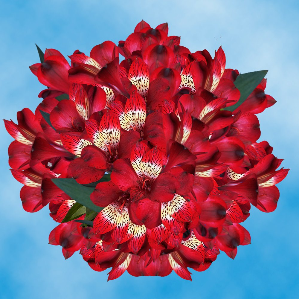 GlobalRose 240 Blooms of Red Fancy Alstroemerias 60 Stems - Peruvian Lily Fresh Flowers for Delivery