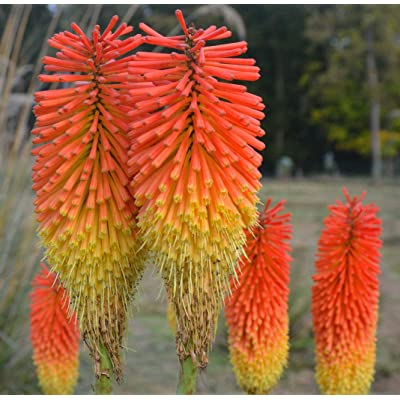 Portal Cool Red Hot Poker 100 Seeds Kniphofia Red and Yellow Flowers Ez to Grow : Garden & Outdoor