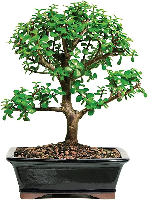 Amazon Com Brussel S Live Jade Indoor Bonsai Tree 7 Years Old 8 To 12 Tall With Decorative Container Bonsai Plants Grocery Gourmet Food
