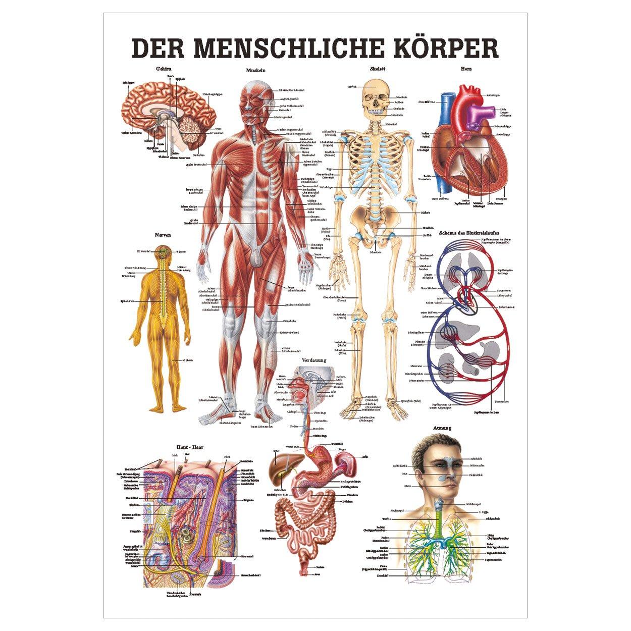 Der menschliche Körper Lehrtafel Anatomie 100x70 cm medizinische ...