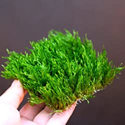 Aquarium Live Water Plants Flame Moss Pad