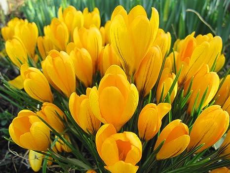 Amazon 20 giant yellow crocus bulbs golden yellow perennial 20 giant yellow crocus bulbs golden yellow perennial mightylinksfo