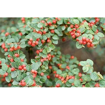 10 Seeds-Rockspray- -Good Fall Color -Popular Shrub -Bonsai Favorite- Multi Use Plant Even Groundcover -Cotoneaster Horizontalis : Garden & Outdoor