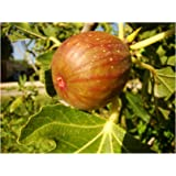 rare, self fertile Fig Tree FICUS CARICA 'SIGNORA' large pink-violet fruits, cold tolerant, 20-25cm tall plant in a 9cm pot