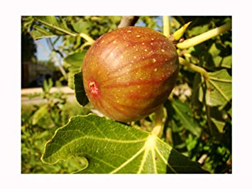 Rare Self Fertile Fig Tree Ficus Carica Signora Large Pink Violet