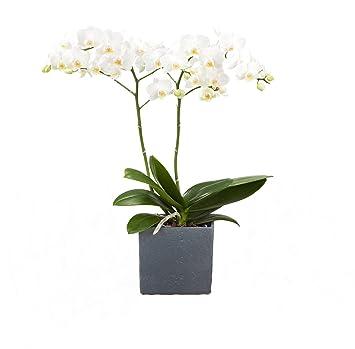 Dominik Blumen Und Pflanzen Zimmerpflanzen Orchidee Phalaenopsis
