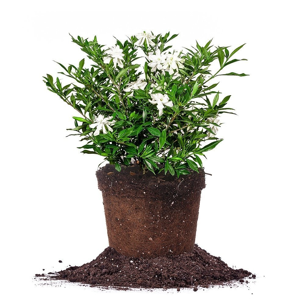 Frostproof Gardenia - Size: 1 Gallon, Live Plant, Includes Special Blend Fertilizer & Planting Guide by PERFECT PLANTS (Image #1)