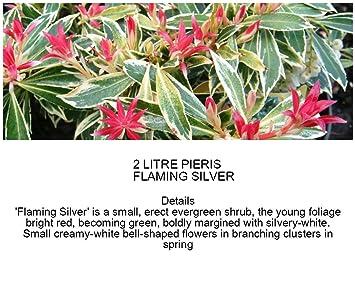 2 Litre Pot Pieris Flaming Silver Large Evergreen Garden Shrub