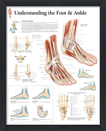amazon com: wallsthatspeak understanding the foot and ankle framed medical  educational informational poster diagram doctors office school classroom  22x28