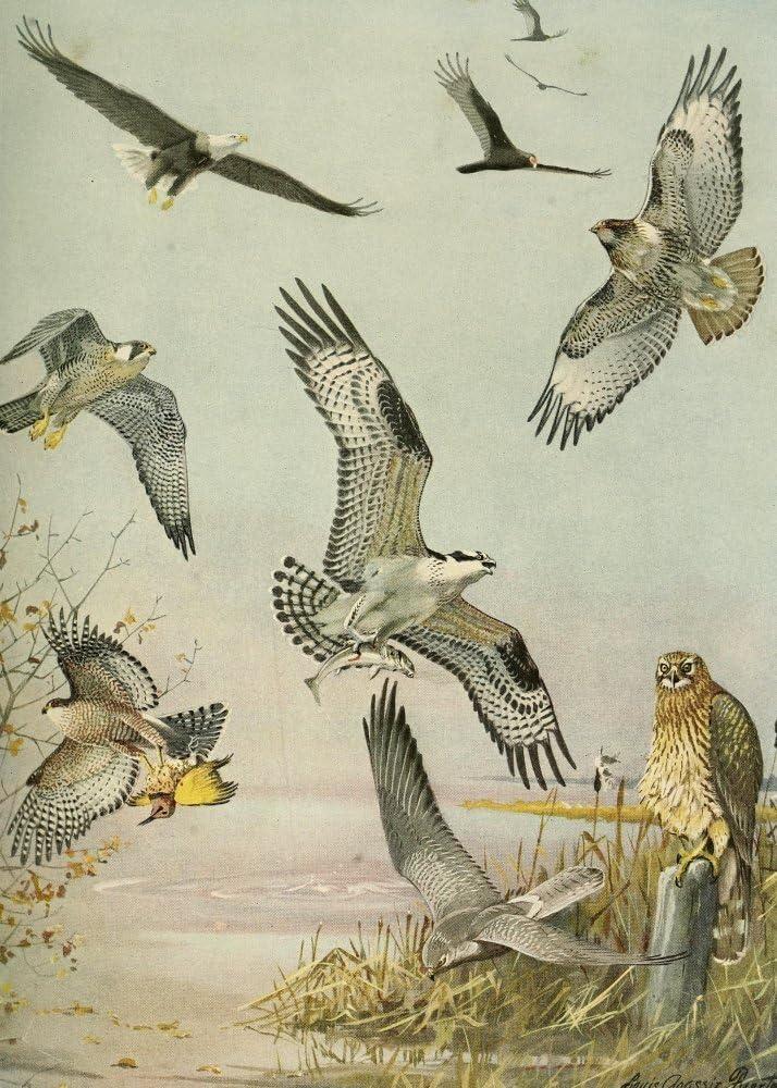 Amazon Com Posterazzi Massachusetts 1925 Eagle Hawk Birds Of Prey Poster Print By L A Fuertes 24 X 36 Varies Posters Prints